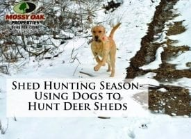 Shed Hunting Season- Using Dogs to Hunt Deer Sheds