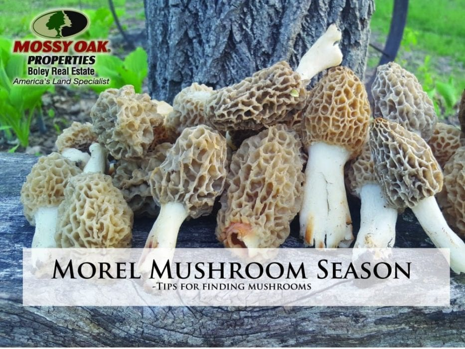 Morel Mushroom Season